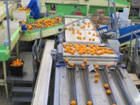 Praca Holandia od zaraz bez znajomości języka na produkcji sortowanie owoców, Venlo
