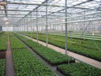 Bez języka sezonowa praca w Danii od zaraz w ogrodnictwie sadzenie rzeżuchy Odense