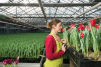 Ogrodnictwo od zaraz sezonowa praca Dania przy tulipanach bez języka w szklarni Jutlandia