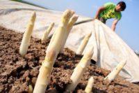 Bez języka sezonowa praca w Niemczech przy zbiorach szparagów, truskawek, wiśni, malin Wiesbaden