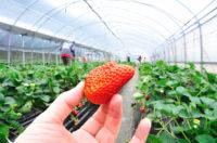 Holandia praca sezonowa zbiory truskawki podwieszanej pod wiatami, Venlo