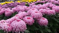 Ogrodnictwo praca w Holandii przy kwiatach-chryzantemach od zaraz, Maasbree