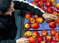 Od zaraz dam fizyczną pracę w Norwegii przy sortowaniu owoców bez języka Oslo